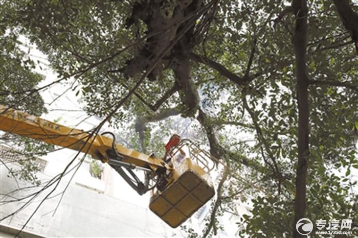 百年古树勤修剪 高空作业车来助阵
